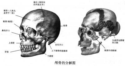 颅骨的分解图