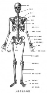 人体骨骼分布图