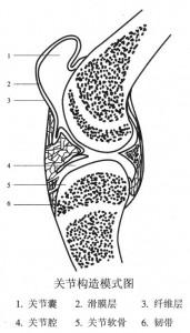 关节构造模式图