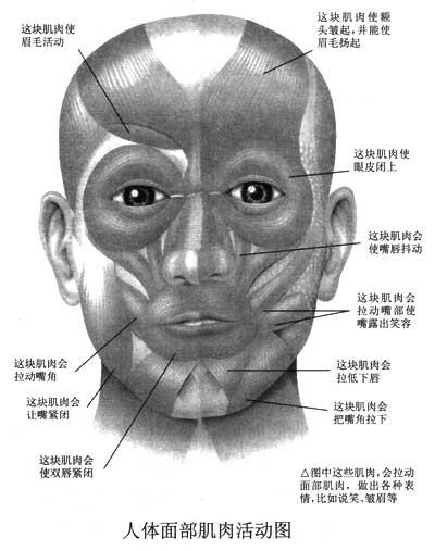 脸部骨骼图结构图