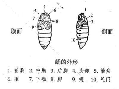 蚕蛹的外形