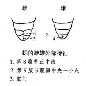 蚕蛹的雌雄外部特征